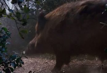 How To Find Wild Hogs During The Day Easily